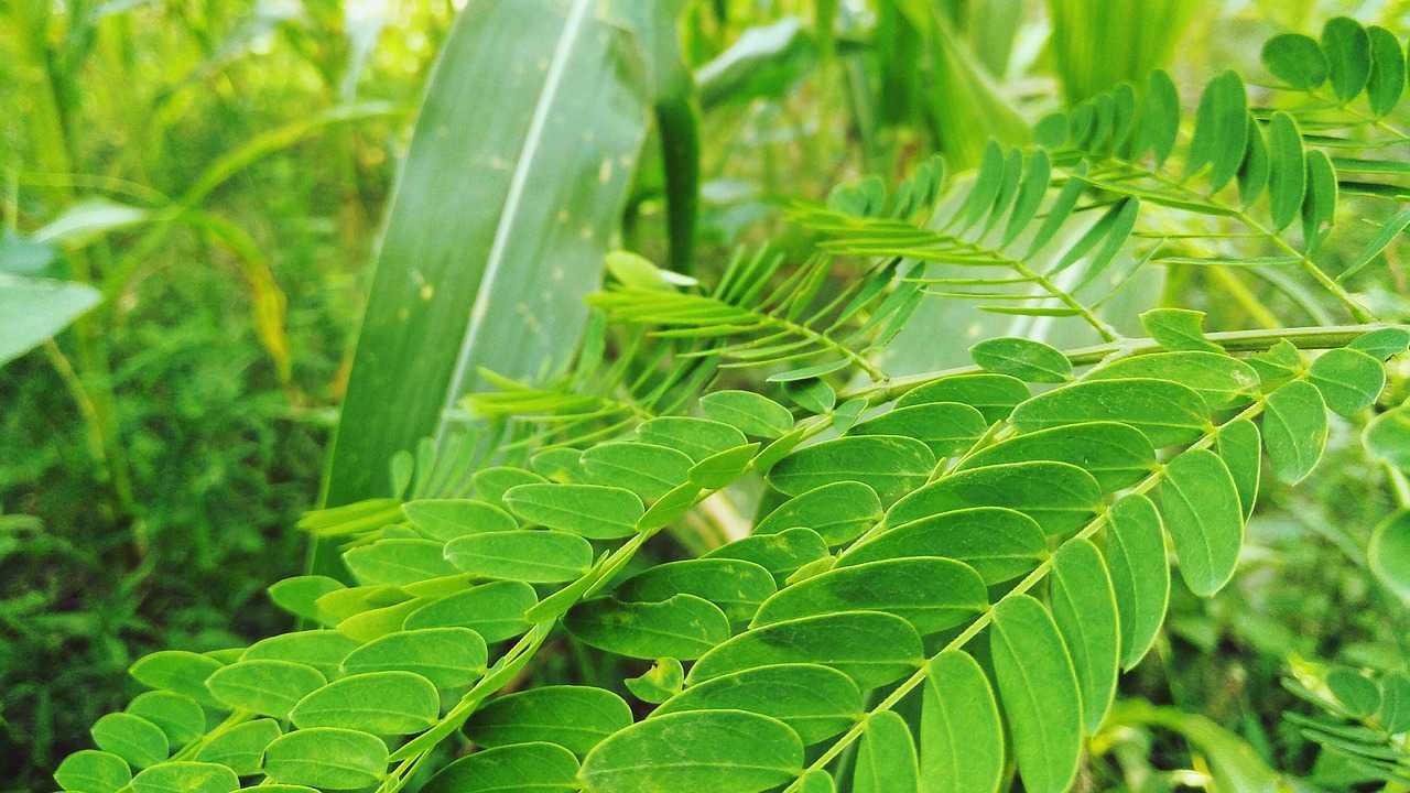 Cómo evitar la caída de cabello con hojas de curry, Fuerte y Sano